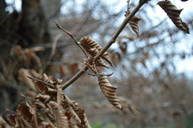 Brown winter leaves in trees in Epping Forest, London