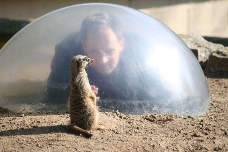 Meerkat at Battersea Zoo, London