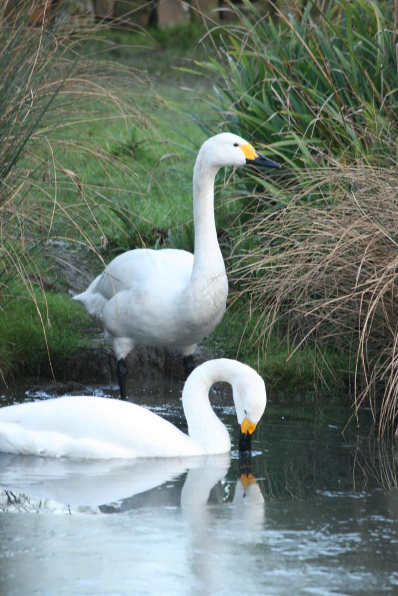 Swans at London Wetlands Centre