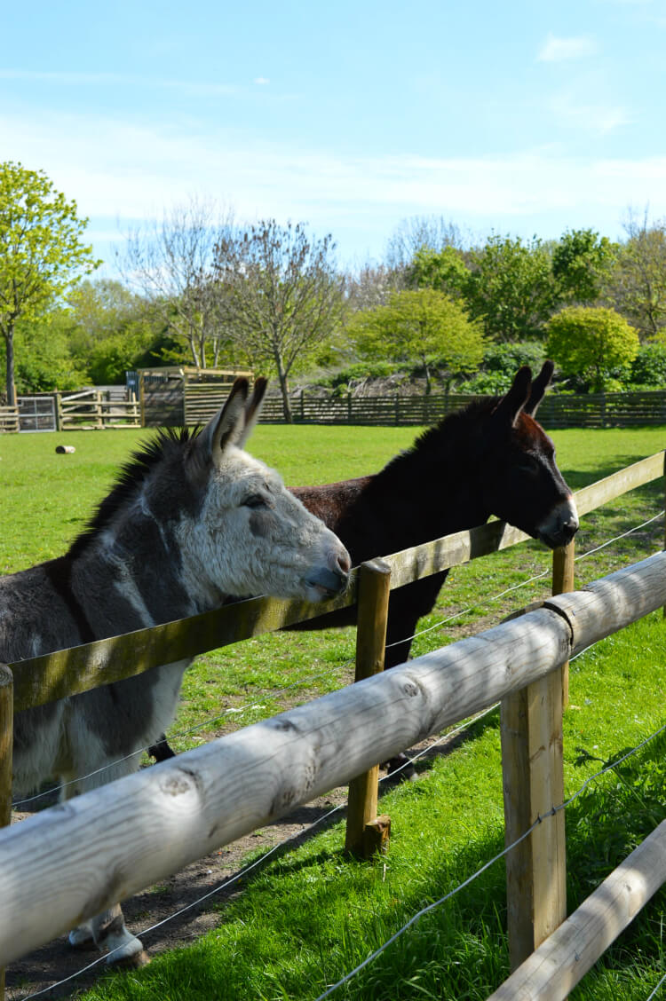 Donkeys at Mudchute City Farm, London