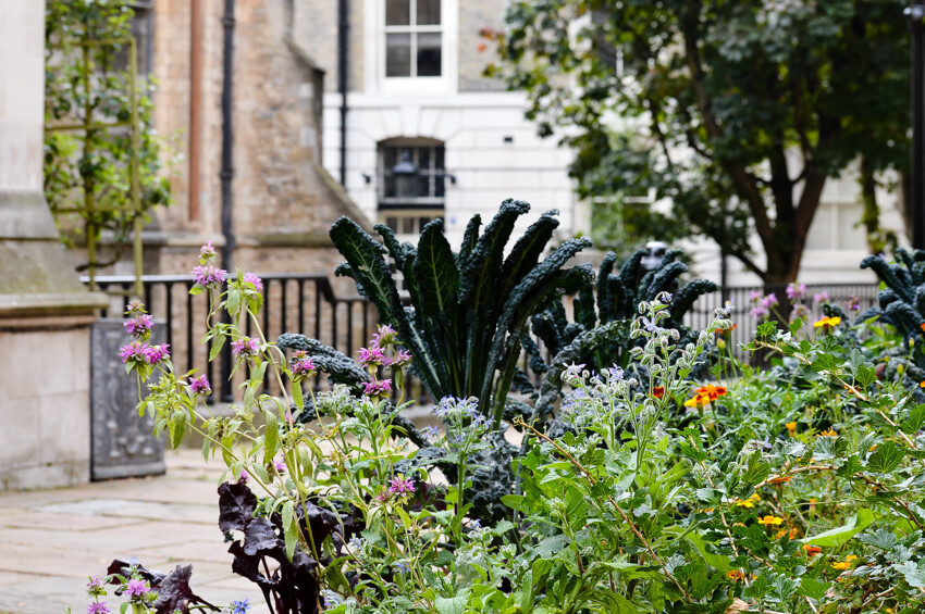 Vegetables growing in Temple Church yard, London
